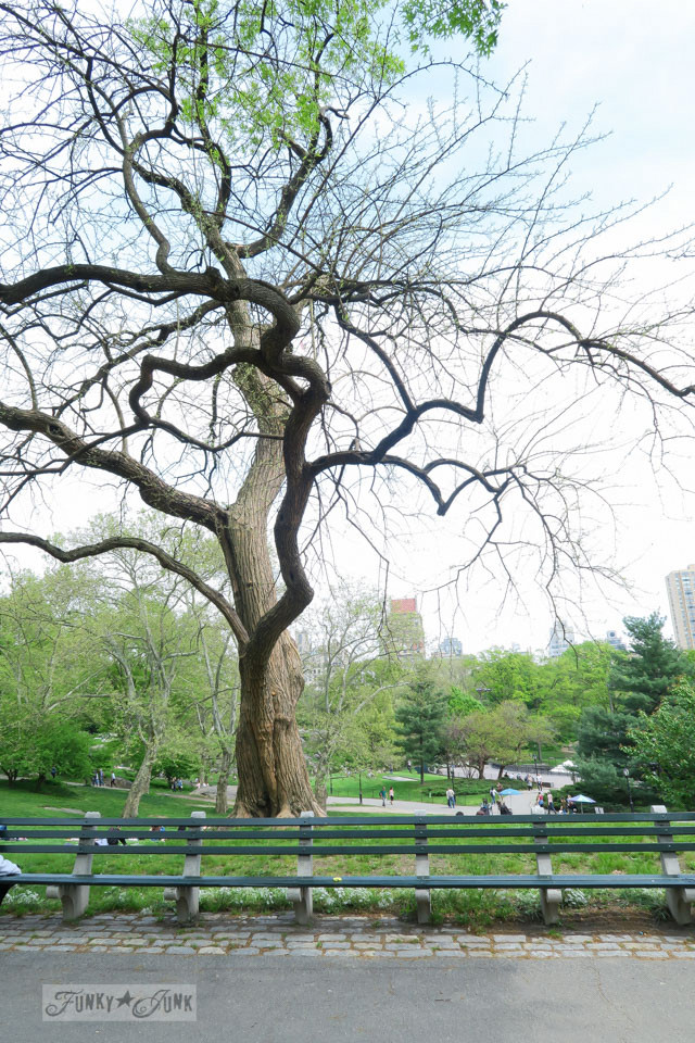 Gorgeous trees, and super long benches in Central Park, New York City / funkyjunkinteriors.net