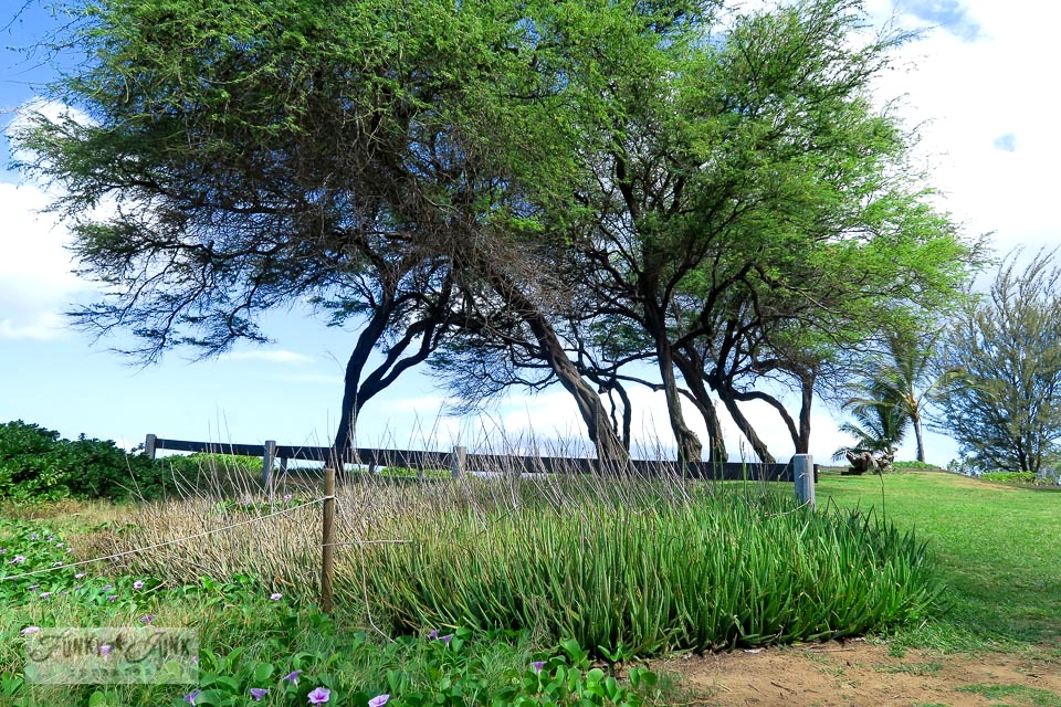 Tree lined lookout with aloe vera at Kamaole Beach 1 in Kihei, Maui | funkyjunkinteriors.net
