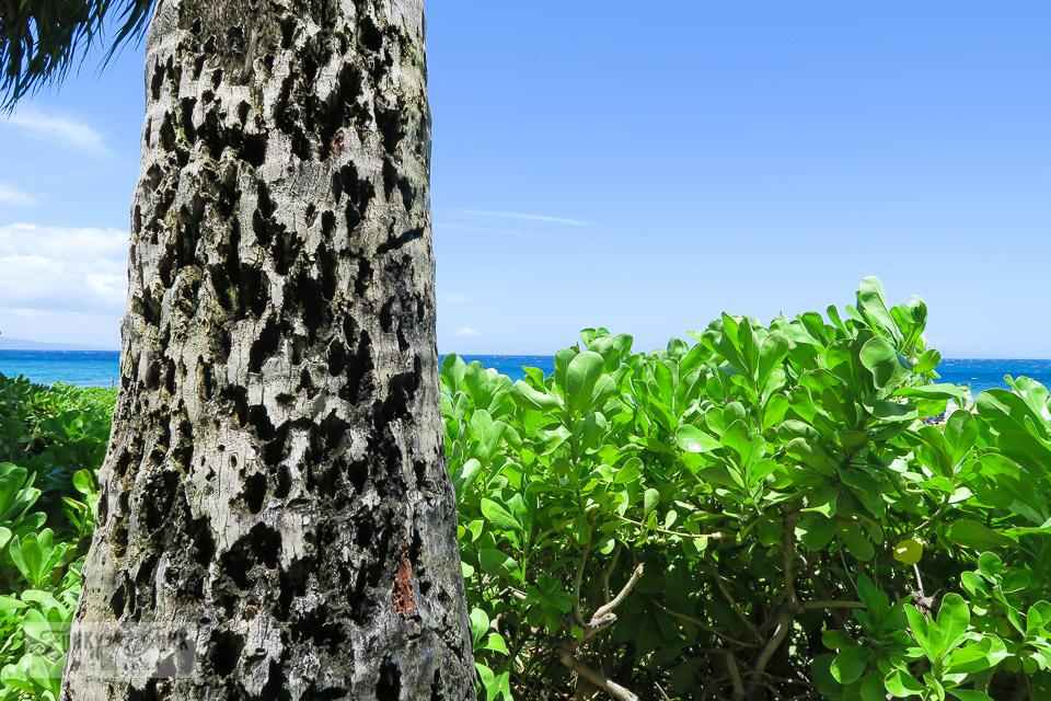 Gorgeous palm tree bark and vivid green plant life on Kamaole Beach in Kihei, Maui | funkyjunkinteriors.net