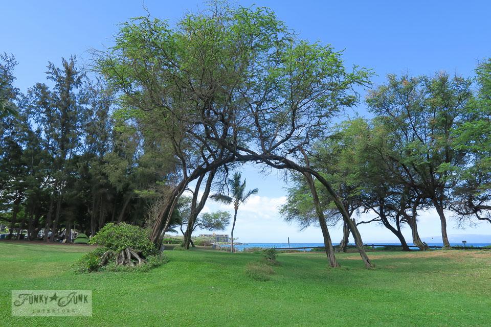 Arched trees in Kamaole Beach 1 in Kihei, Maui | funkyjunkinteriors.net