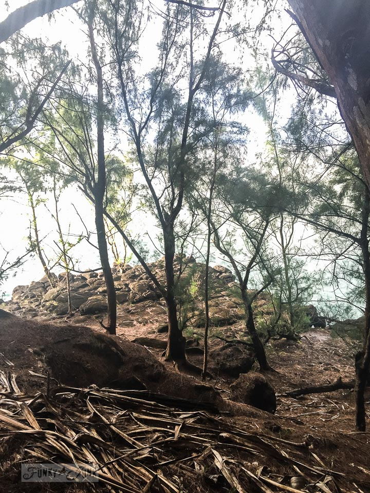 Ironwood trees, along the north shore of Kauai | funkyjunkinteriors.net