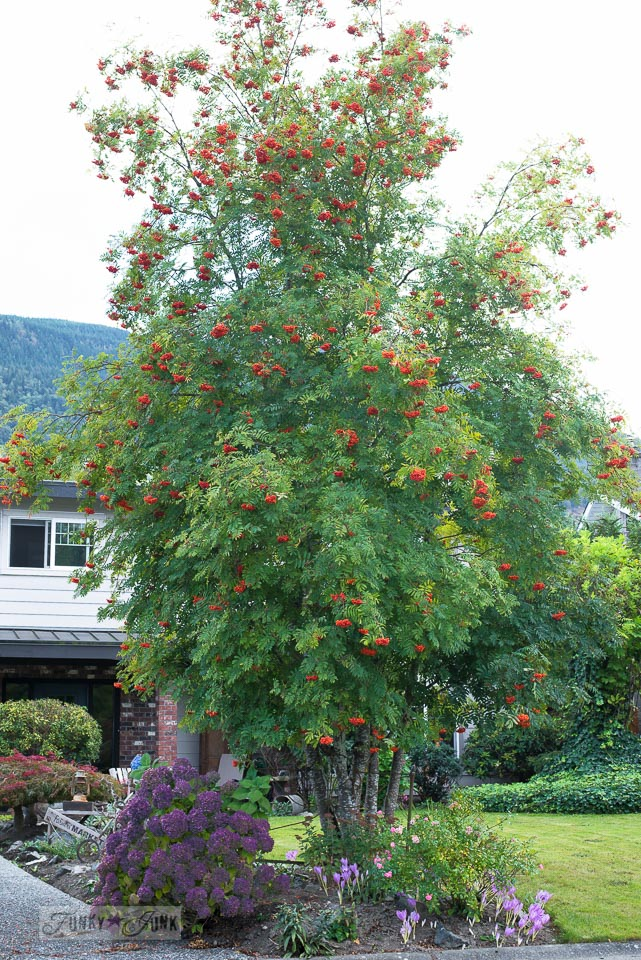 tall red berry tree in a garden | funkyjunkinteriors.net