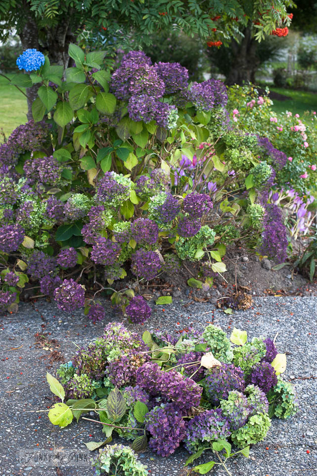 purple and lime fall hydrangea harvest | funkyjunkinteriors.net