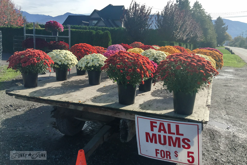 Fall chrysanthemums for sale on a hay wagon on a farm for fall decorating | funkyjunkinteriors.net