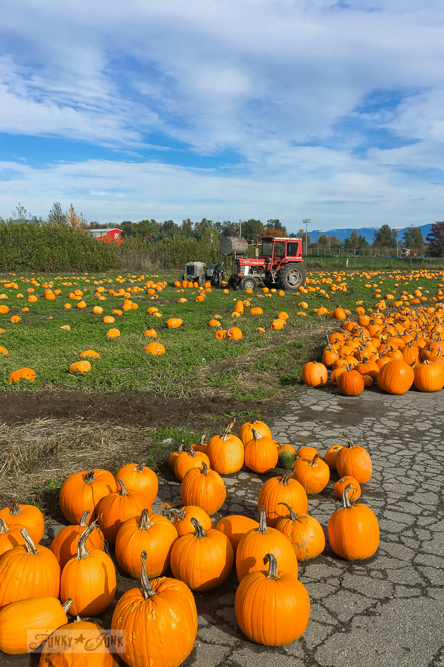 Traditional orange pumpkin field, found at a local farm during fall | funkyjunkinteriors.net