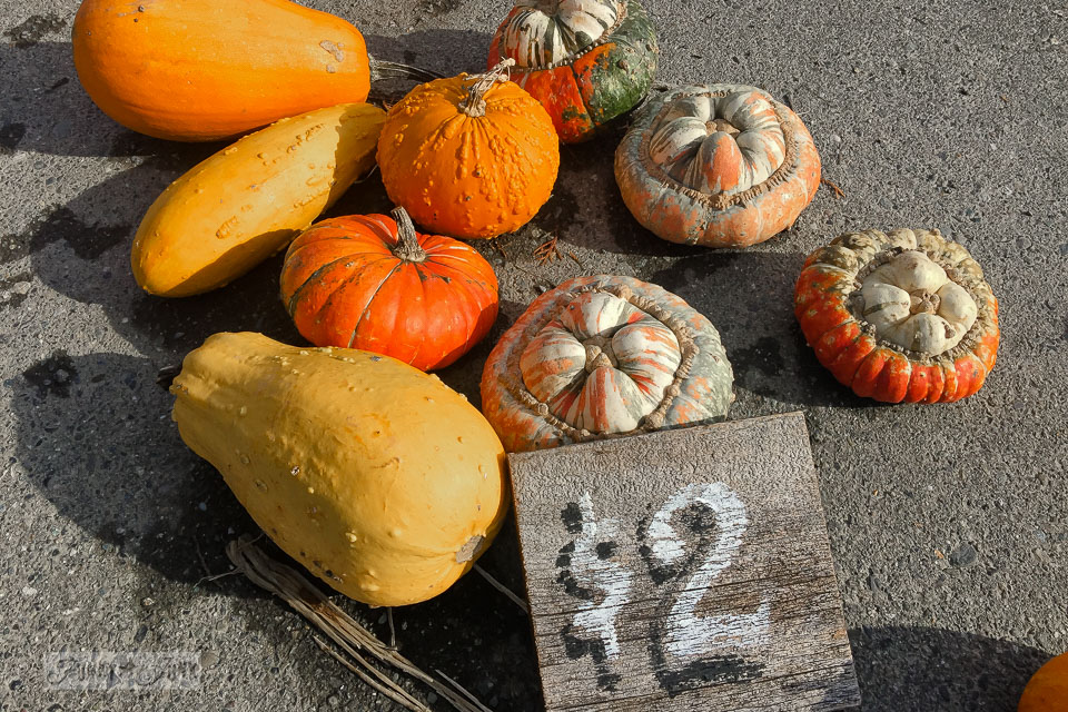 Fancy yellow and orange pumpkins with a reclaimed wood rustic $2 sign - plus pumpkins of all kinds, found at a local pumpkin farm for fall decorating | funkyjunkinteriors.net