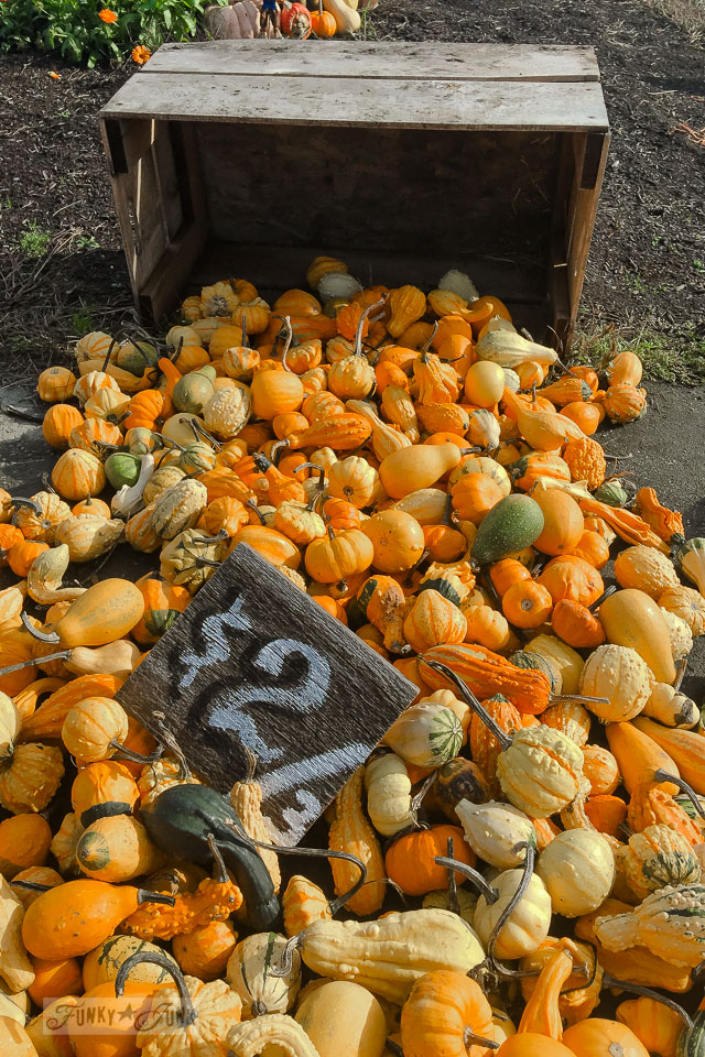 Orange and green gourds - plus pumpkins of all kinds, found at a local pumpkin farm for fall decorating | funkyjunkinteriors.net