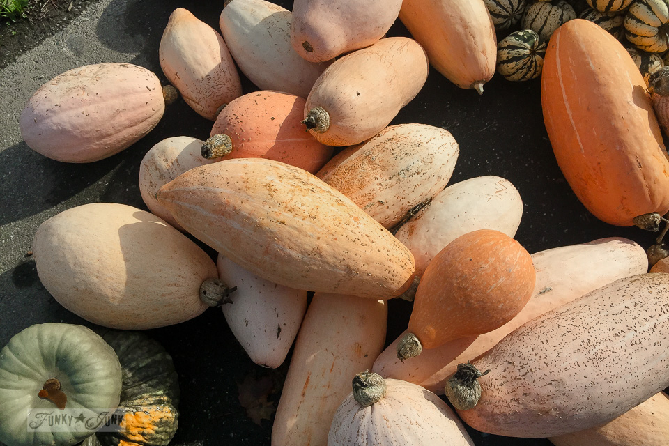 Oblong peach pumpkins - plus pumpkins of all kinds, found at a local pumpkin farm for fall decorating | funkyjunkinteriors.net