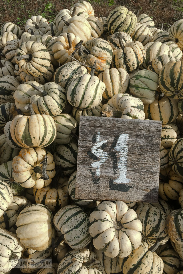 Striped ivory and forest green pumpkins - plus pumpkins of all kinds, found at a local pumpkin farm for fall decorating | funkyjunkinteriors.net