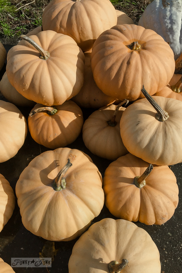 Dusty orange pumpkins - plus pumpkins of all kinds, found at a local pumpkin farm for fall decorating | funkyjunkinteriors.net