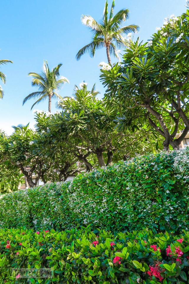 The beautiful established grounds at Maui Vista, located in Kihei, Maui | funkyjunkinteriors.net