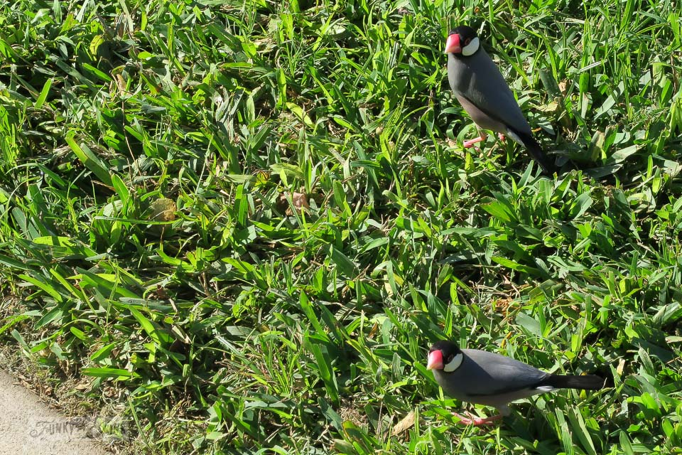 Merlinator, a red beaked tropical bird on the lush green grass at Maui Vista in Kihei | funkyjunkinteriors.net