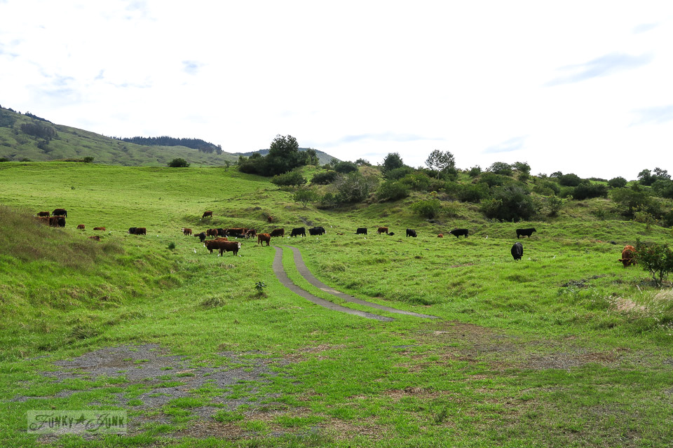 Rolling hills and cattle along the hilly upcountry backroad to Hana, Maui | funkyjunkinteriors.net