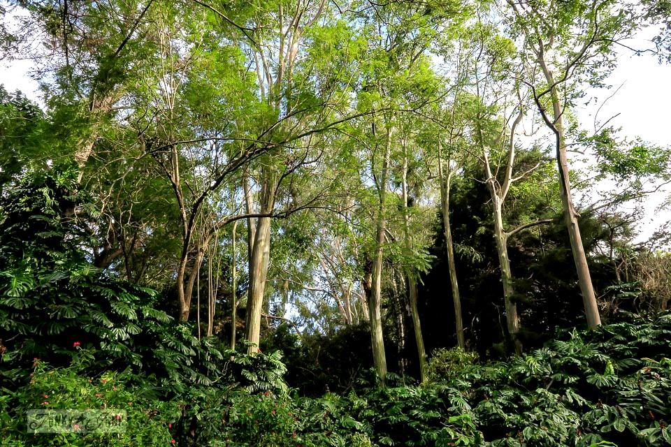 The infamous, towering rainbow eucalyptus trees at Kula Botanical Garden, in Maui, Hawaii | funkyjunkinteriors.net