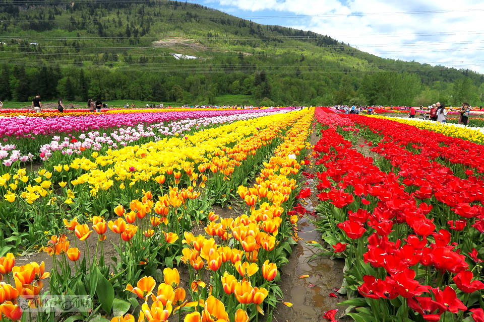 A trip to a spectacular tulip festival with a gorgeous mountain backdrop in Abbotsford, BC Canada | funkyjunkinteriors.net