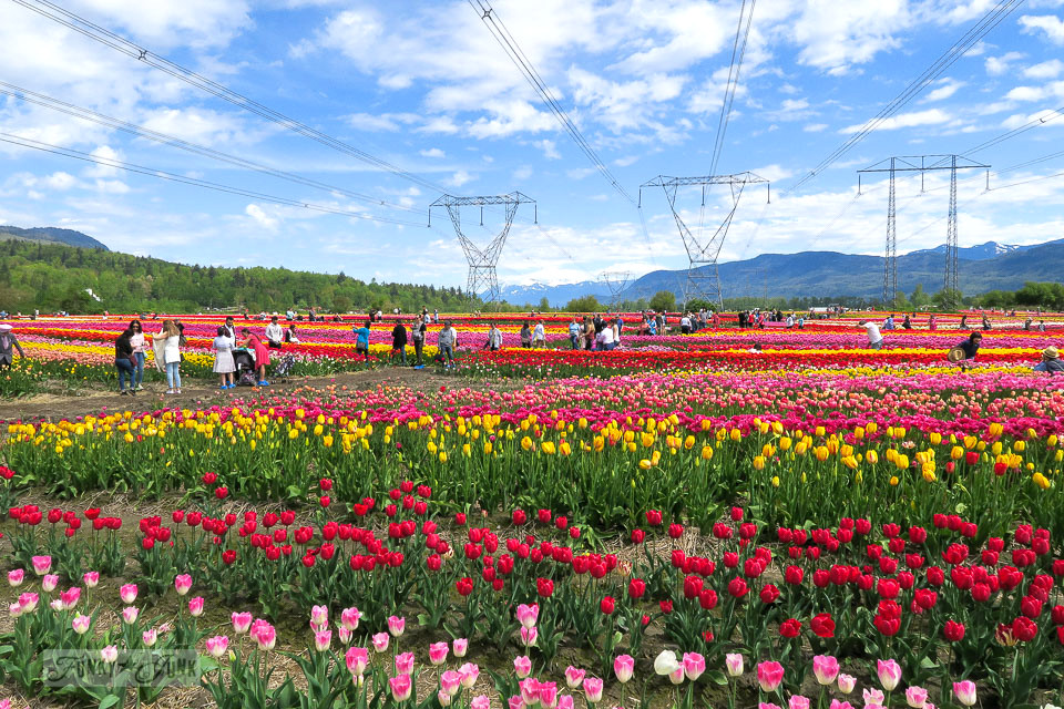 The crowds at a locl tulip festival with a gorgeous mountain backdrop in Abbotsford, BC Canada | funkyjunkinteriors.net