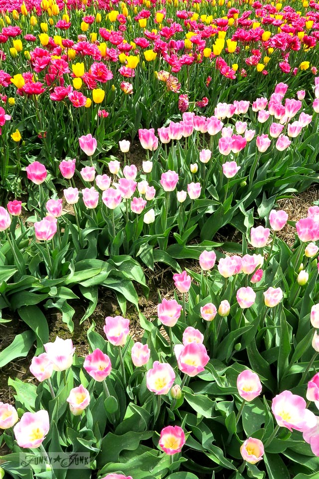 Pink and white tulips at a tulip festivalin Abbotsford, BC Canada | funkyjunkinteriors.net