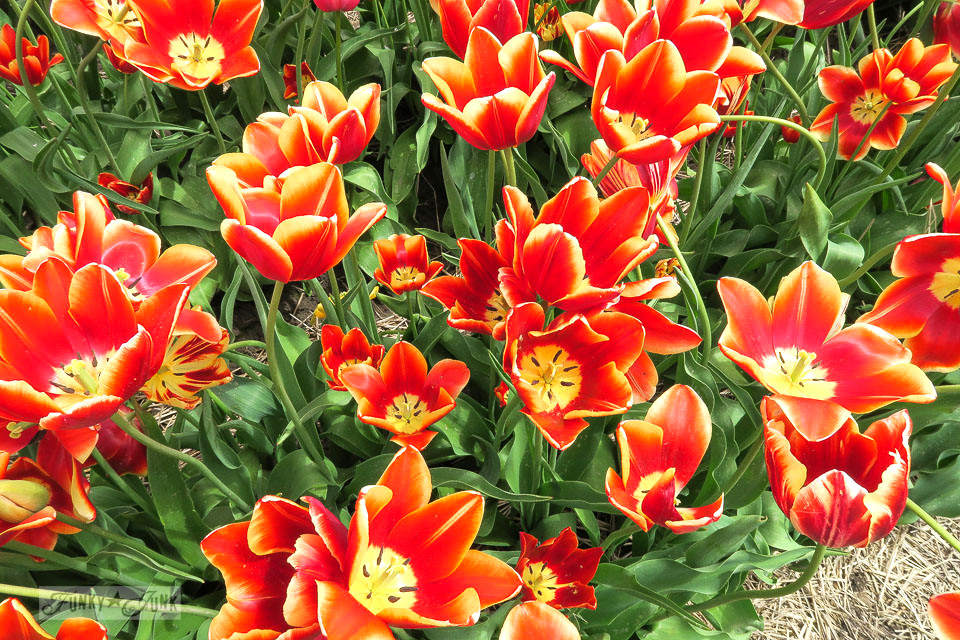 Red and yellow tulips / A trip to a spectacular tulip festival with a gorgeous mountain backdrop in Abbotsford, BC Canada | funkyjunkinteriors.net