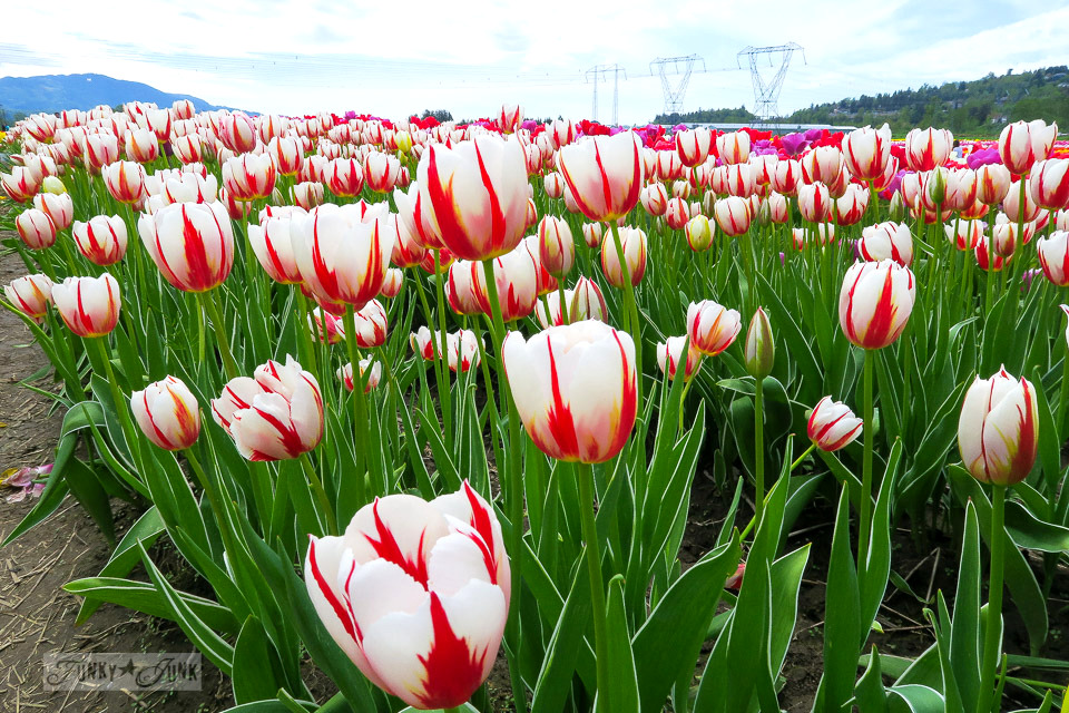 Red and white tulips that resemble the Canadian flag, at a local tulip festival in Abbotsford, BC Canada | funkyjunkinteriors.net