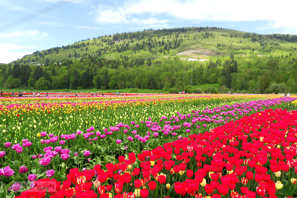 A trip to a local spectacular tulip festival with a pretty mountain backdrop | funkyjunkinteriors.net
