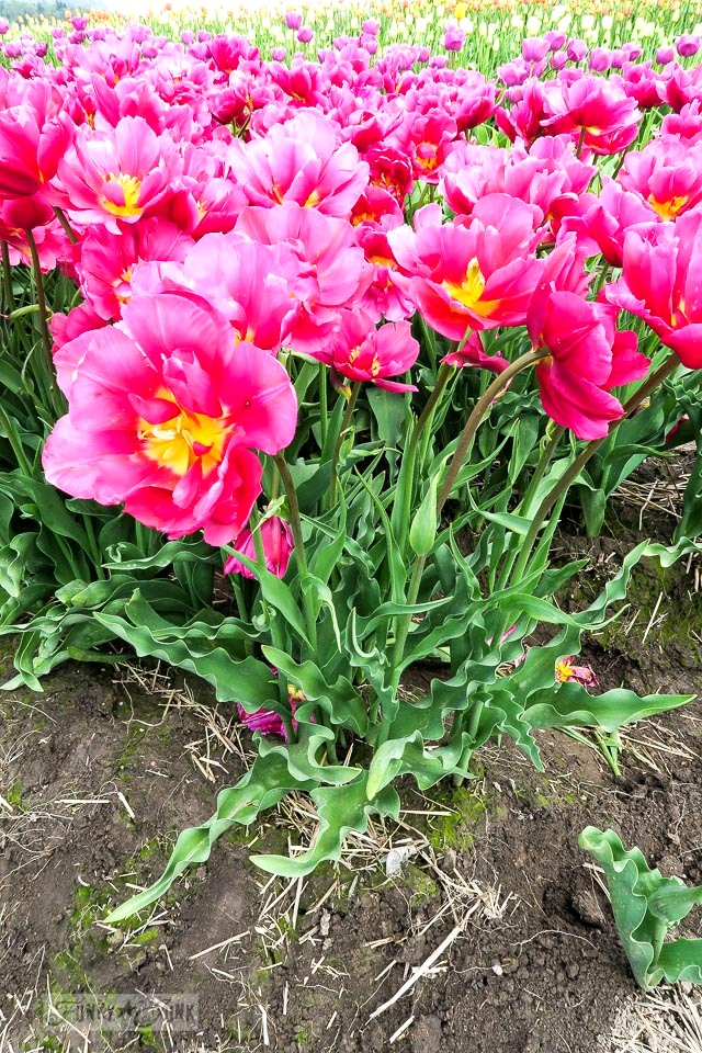 Hot pink tulips with crinkly leaves, at a local tulip festival in Abbotsford, BC Canada | funkyjunkinteriors.net