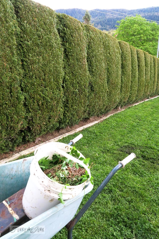 Pulling out weeds among freshly trimmed evergreen hedges