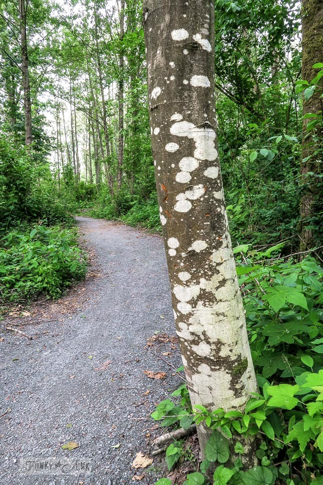 Spotted tree trunk graduating from white to grey bark. Sighted during a forest bike ride | funkyjunkinteriors.net