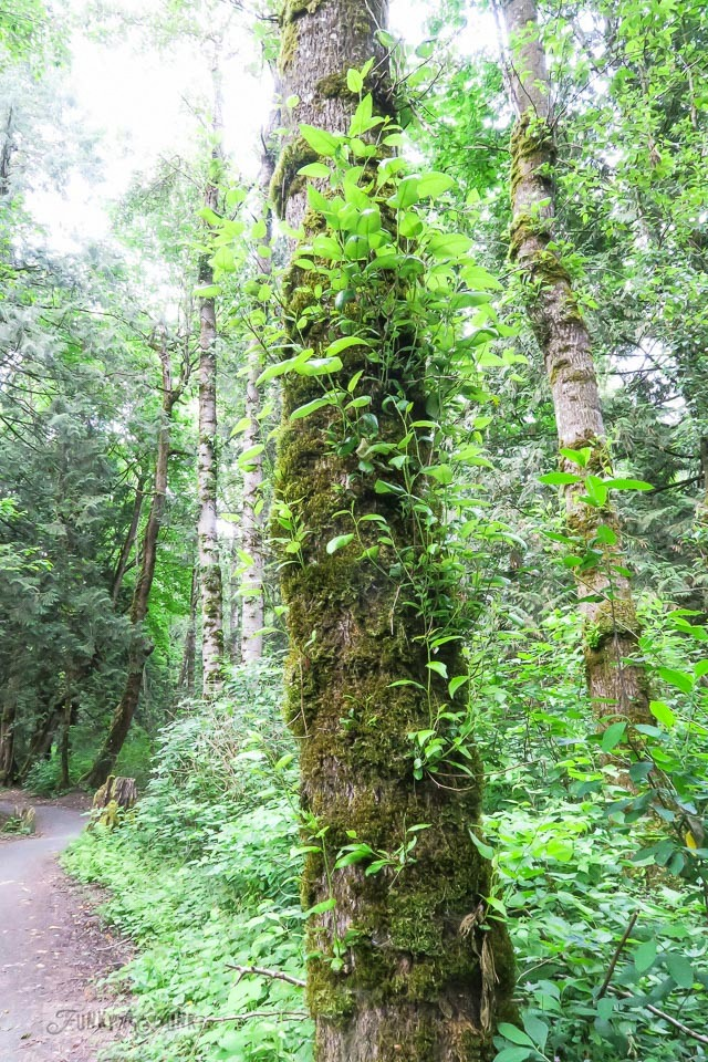 Moss covered tree trunk with branch sprouts during a pretty forest bike trail ride | funkyjunkinteriors.net