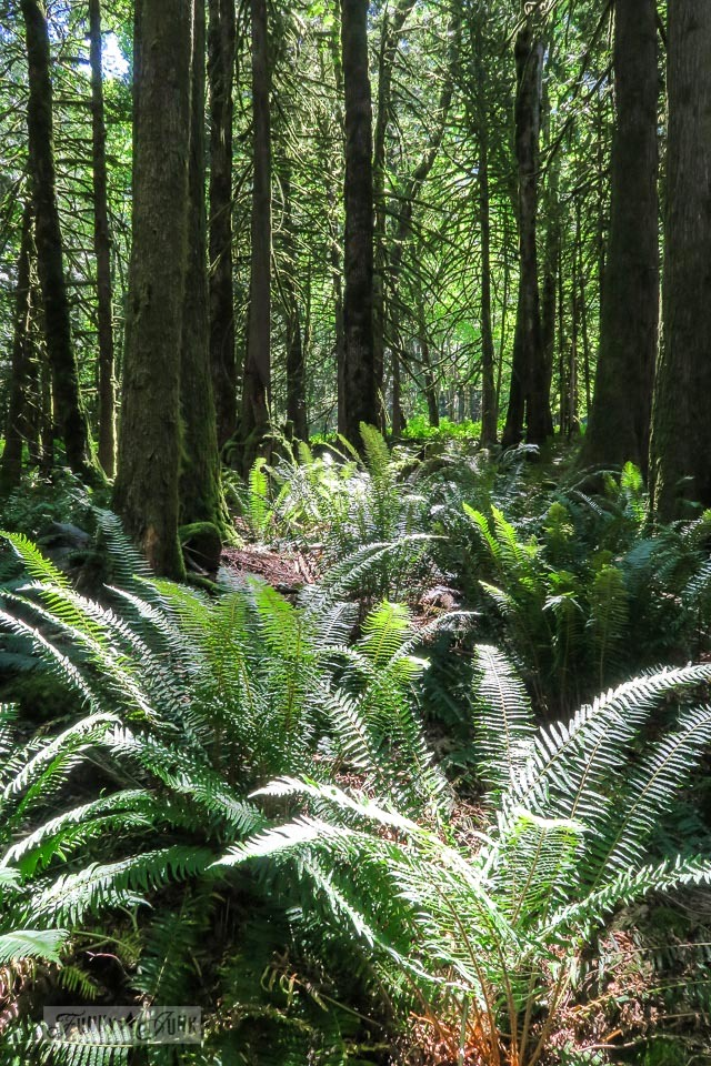 The fern filled forest trail leading to Flood Falls in Hope, BC Canada | funkyjunkinteriors.net