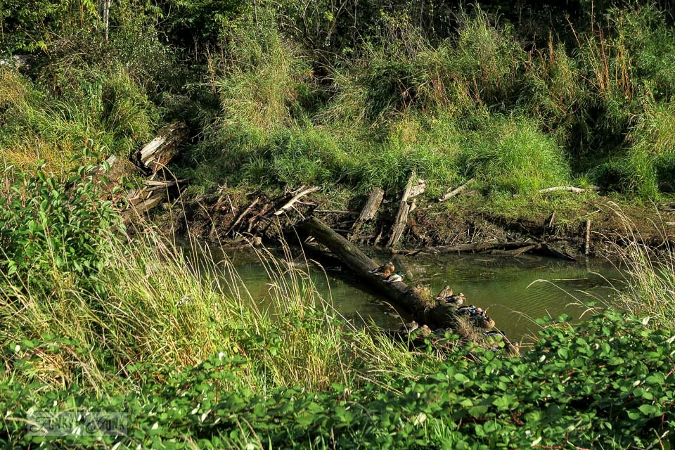 Water fowl lining a log in the wetlands, during a bike ride through the Vedder River Rotary Trail in Chilliwack, BC Canada | funkyjunkinteriors.net