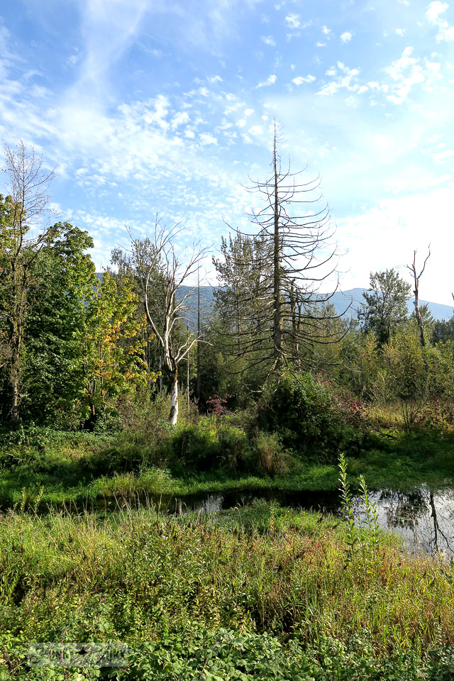 The gorgeous layered wetlands forest spotted during a fall bike ride through the Vedder River Rotary Trail in Chilliwack, BC Canada | funkyjunkinteriors.net