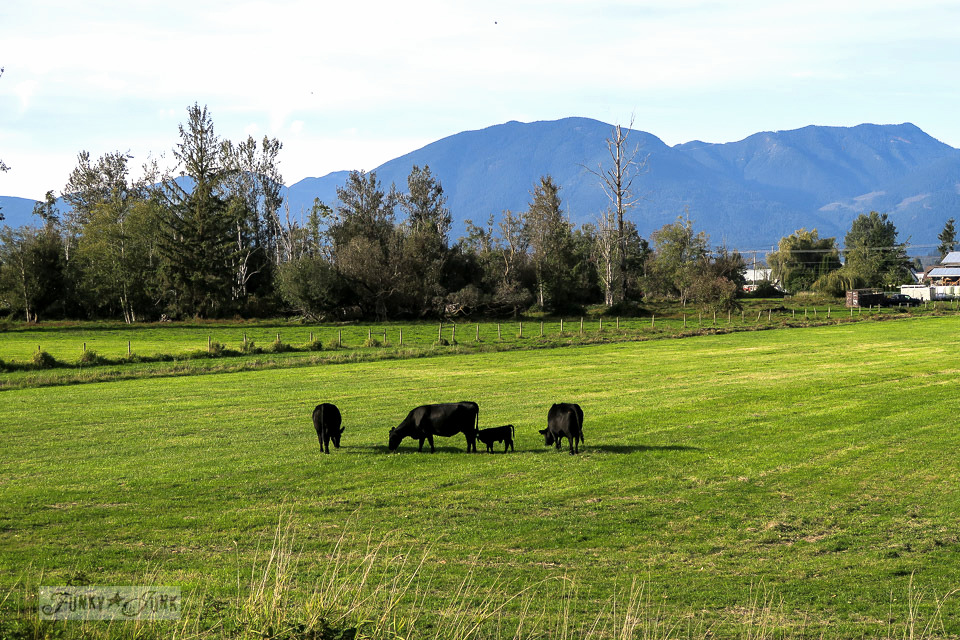 Country meadow with black cows in a grassy field, during a bike ride through the Vedder River Rotary Trail in Chilliwack, BC Canada | funkyjunkinteriors.net