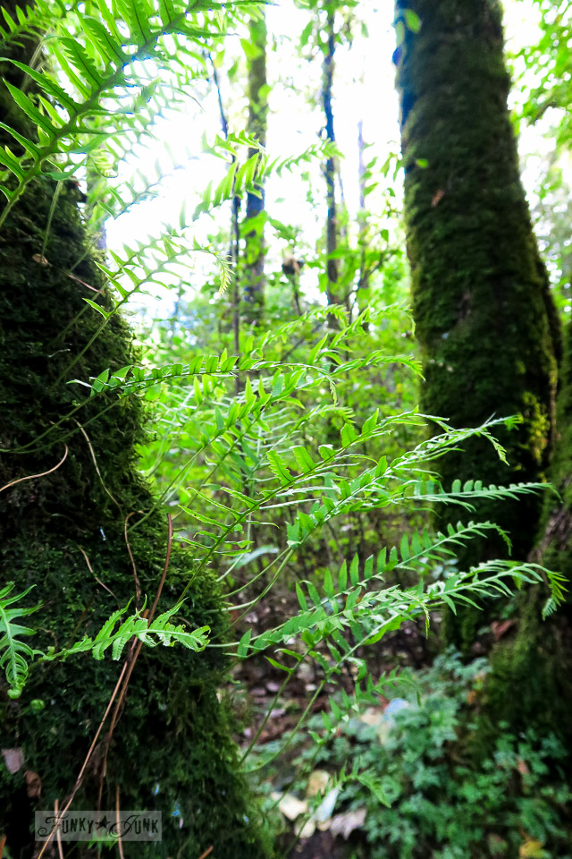 Lush ferns growing on a tree, spotted during a fall bike ride through the Vedder River Rotary Trail in Chilliwack, BC Canada | funkyjunkinteriors.net