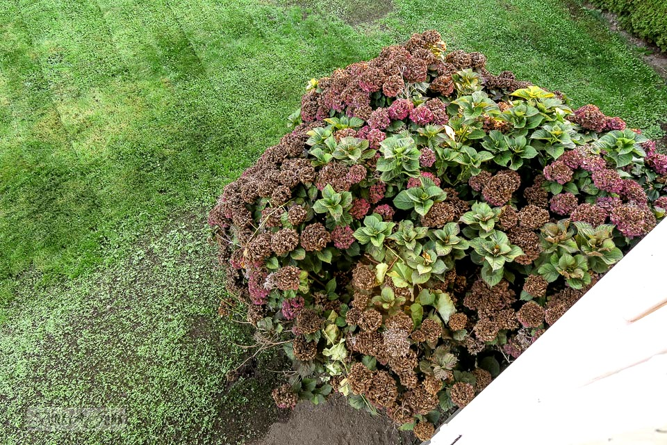 Hydrangea bush beside a newly seeded lawn attempting to grow | funkyjunkinteriors.net