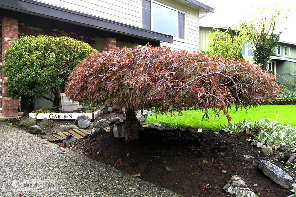 Trimmed red maple tree in the front yard | funkyjunkinteriors.net