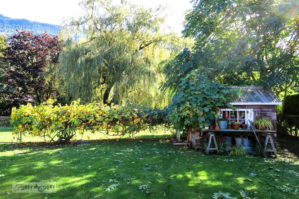 Sunny fall yard with leaves blown all around a rustic shed after a wind storm | funkyjunkinteriors.net