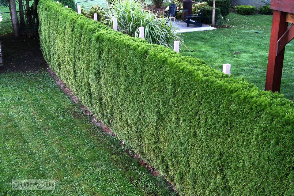 Before trimming the hedges along the side of the backyard | funkyjunkinteriors.net