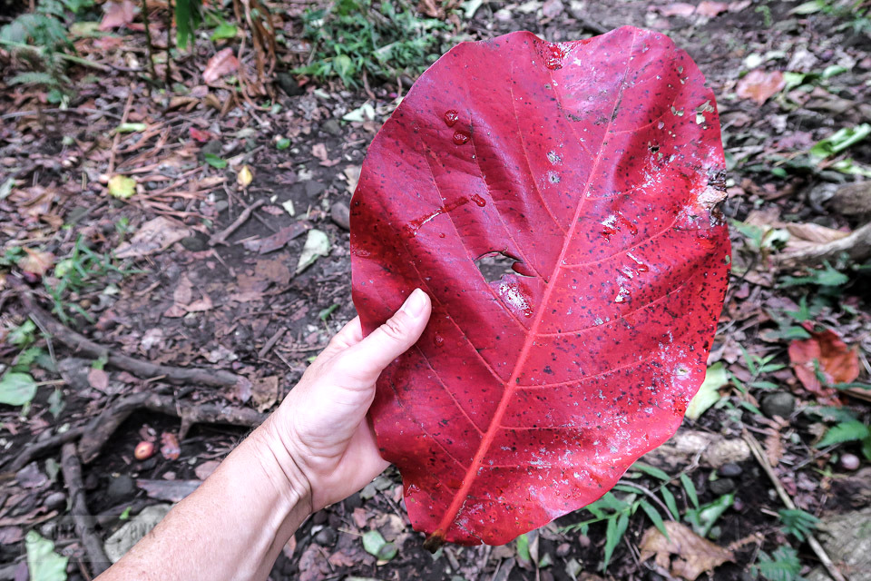 A huge leaf found at Maui's historic Kepaniwai Park along a long metal bridge leading to the other side of the river. Take the tour! funkyjunkinteriors.net