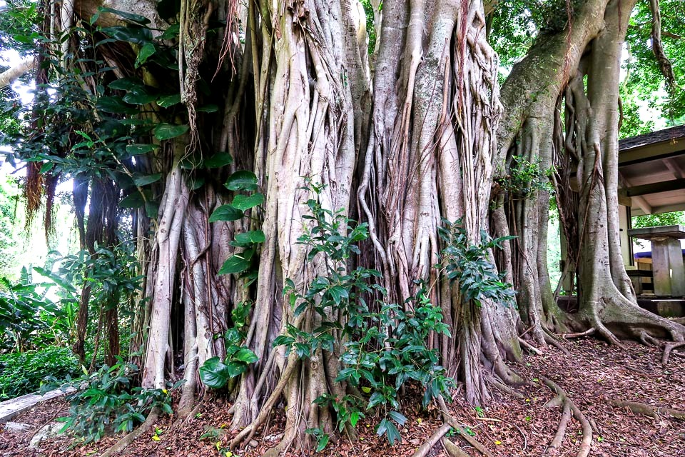 A massive banyan tree at Maui's historic Kepaniwai Park along a long metal bridge leading to the other side of the river. Take the tour! funkyjunkinteriors.net
