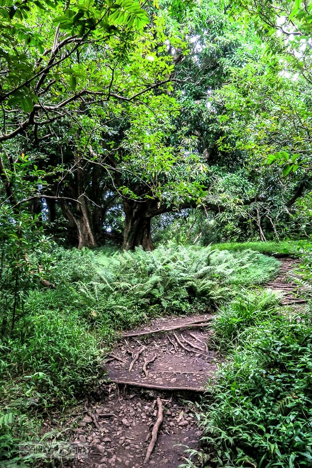 The root filled paths and beautiful meadows along the Pipiwai Trail leading through the bamboo forest during our Road to Hana trip in Maui, Hawaii - full story on funkyjunkinteriors.net