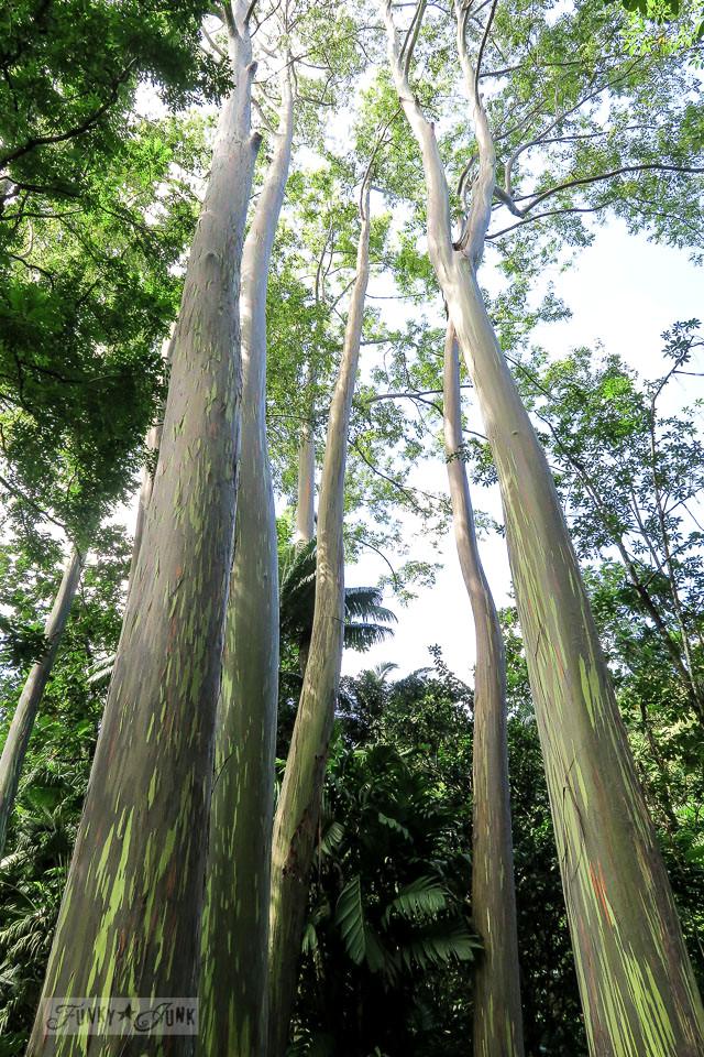Rainbow Eucalyptus trees at the Keanae Arboretum Nature Trail along the Road To Hana, Maui, Hawaii | funkyjunkinteriors.net