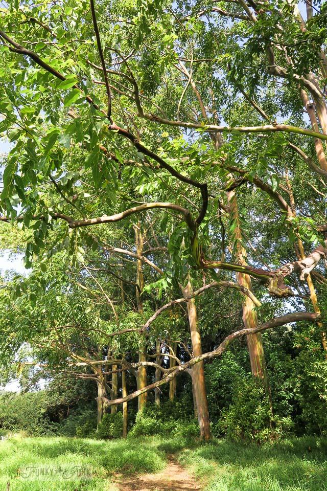 The rainbow eucalyptus trees along The Road To Hana, Maui, Hawaii | funkyjunkinteriors.net
