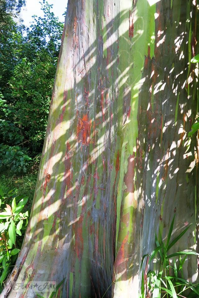 The colourful rainbow eucalyptus trees along The Road To Hana, Maui, Hawaii | funkyjunkinteriors.net