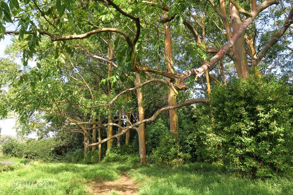 Road To Hana Maui Hawaii Rainbow Eucalyptus Trees Funky Junk Interiors