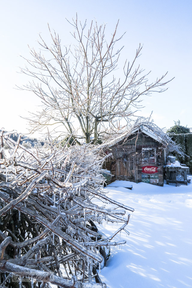 Grapevines encased in ice in a snowy back yard and ice storm on a rustic shed in BC Canada \ funkyjunkinteriors.net