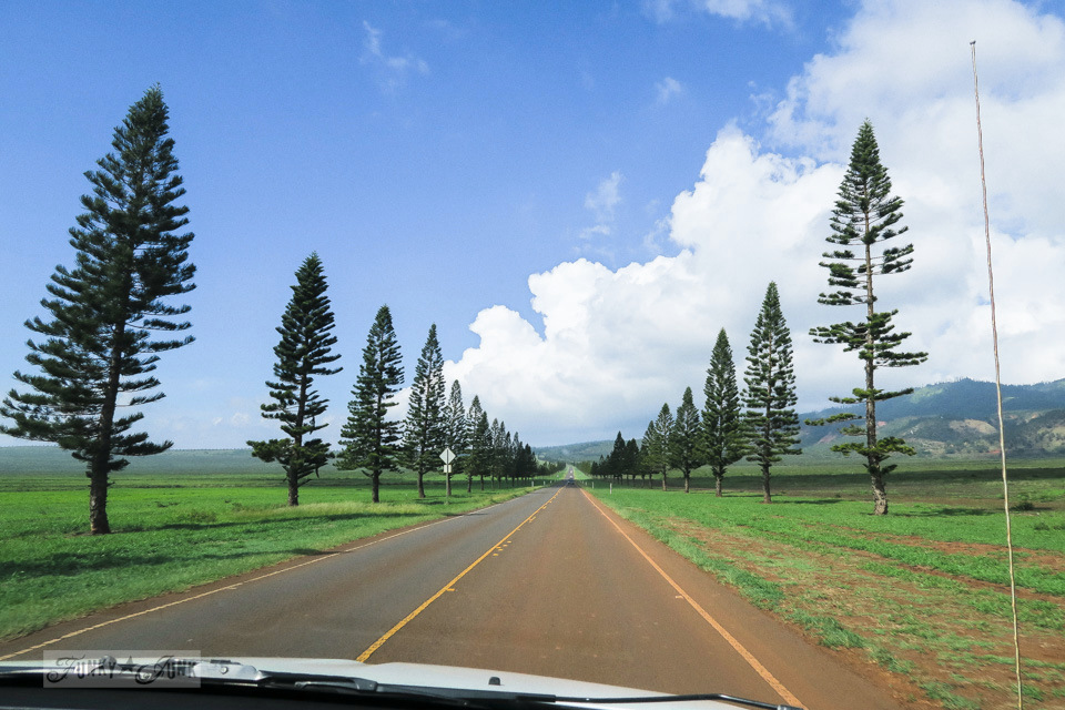 The tall, skinny pine trees lined up along the main road into Lanai, Hawaii