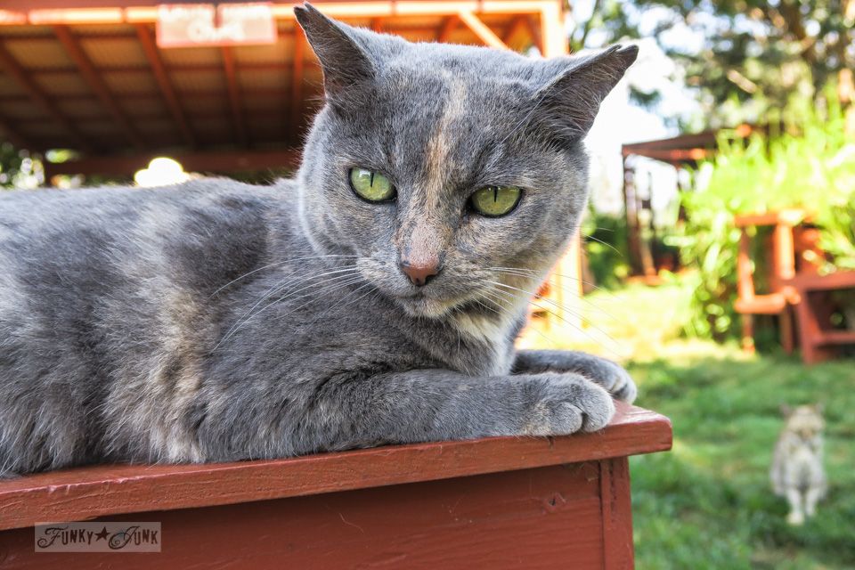 """Well hello!"" this handsome guy says at Lanai Cat Sanctuary in Hawaii, home of 800 cats."