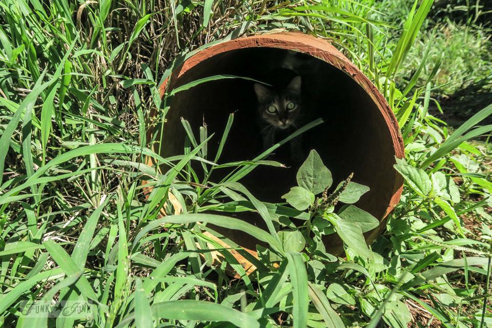 A cat hiding in a tube at Lanai Cat Sanctuary in Hawaii, home of 800 cats.