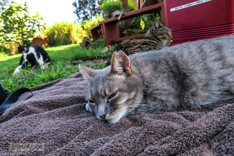 A little furry visitor sharing my towel at Lanai Cat Sanctuary in Hawaii, home of 800 cats.