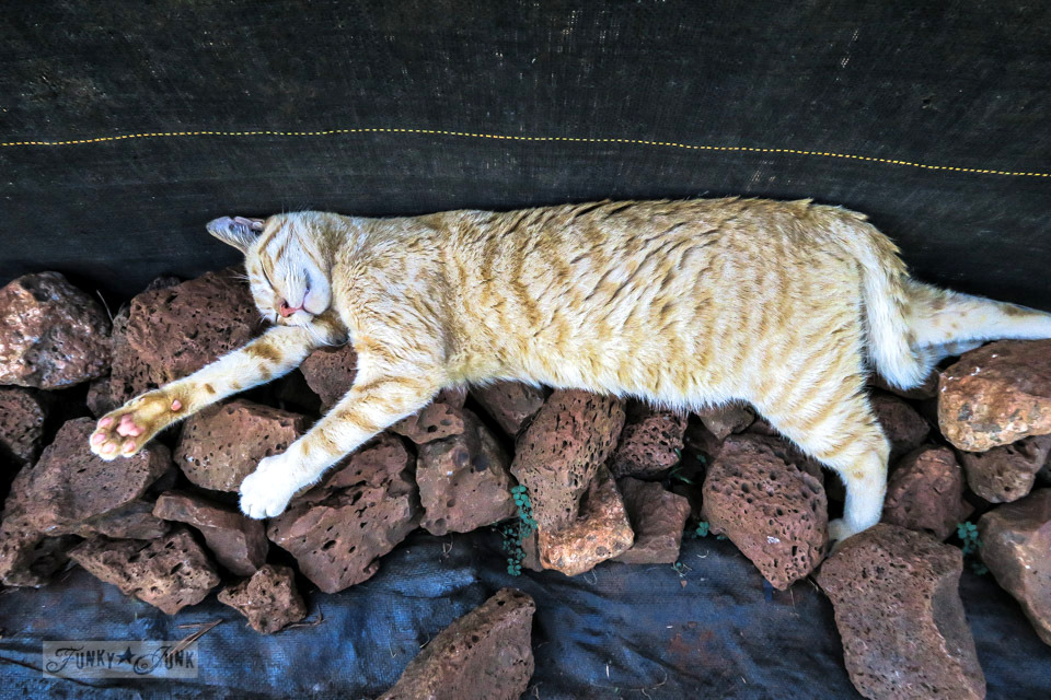 A cute little orange and white cat snoozing in the shade on lava rocks at Lanai Cat Sanctuary in Hawaii, home of 800 cats.